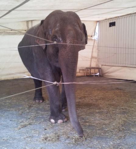 Elefanten Baba/Cirkus Merano (Foto: Inge Sellevåg)